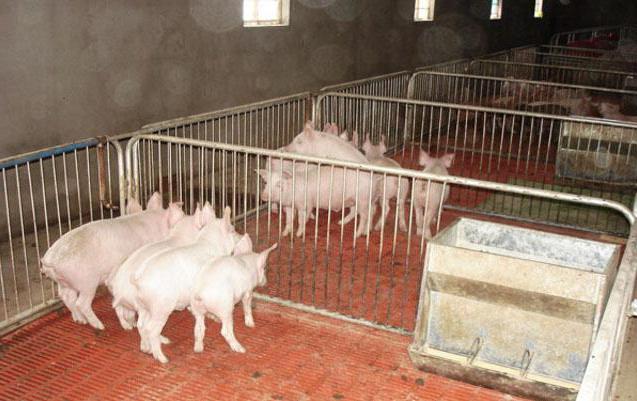 Свинки в железном загоне
