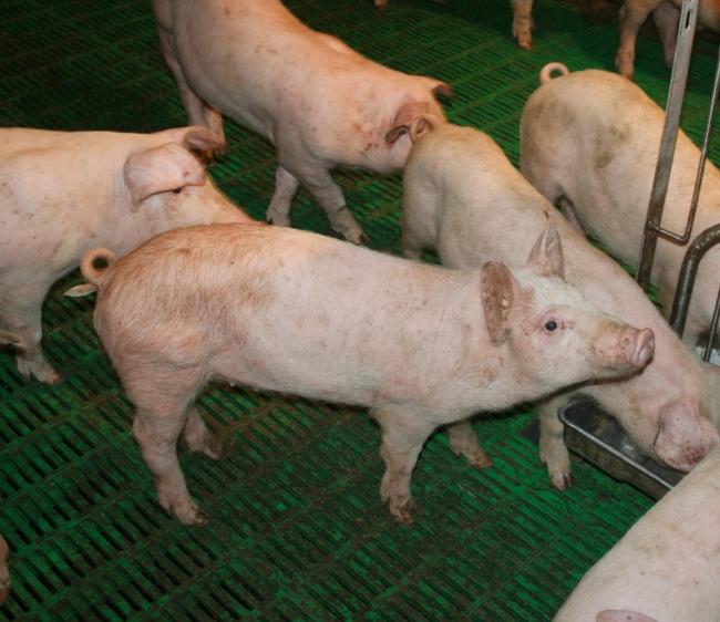 Свиньи на зеленом настиле