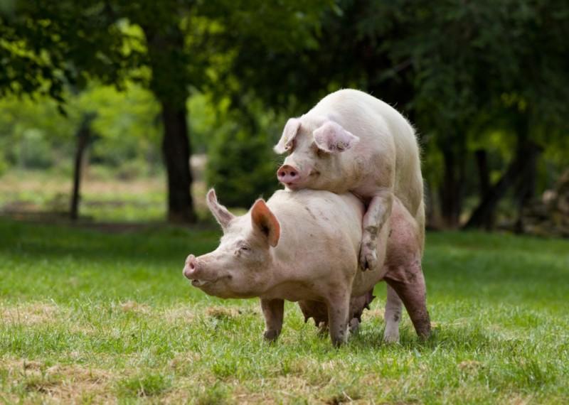 Свиньи в процессе спаривания