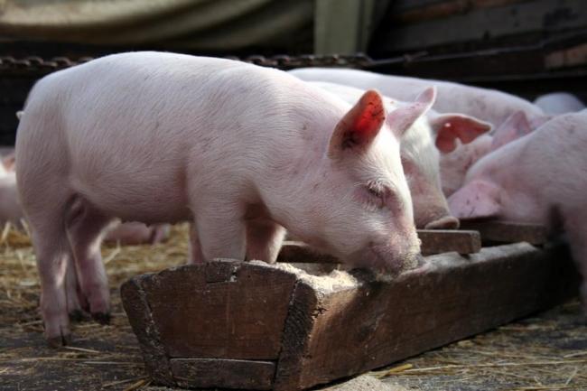 Свинка ест комбикорм