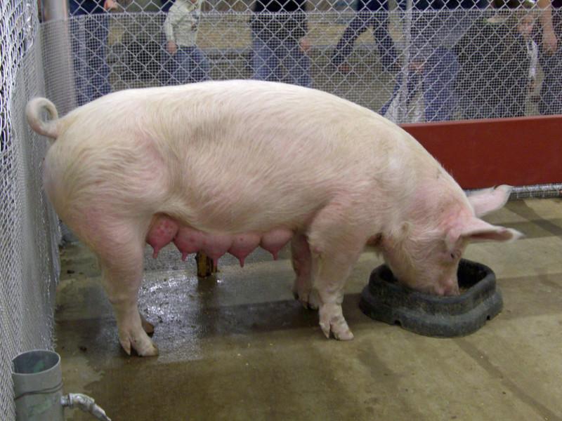 Свинка возле кормушки