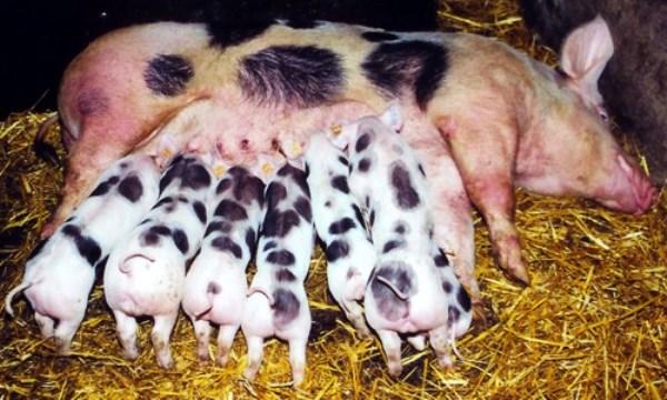 Поросята сосут молоко у свиноматки