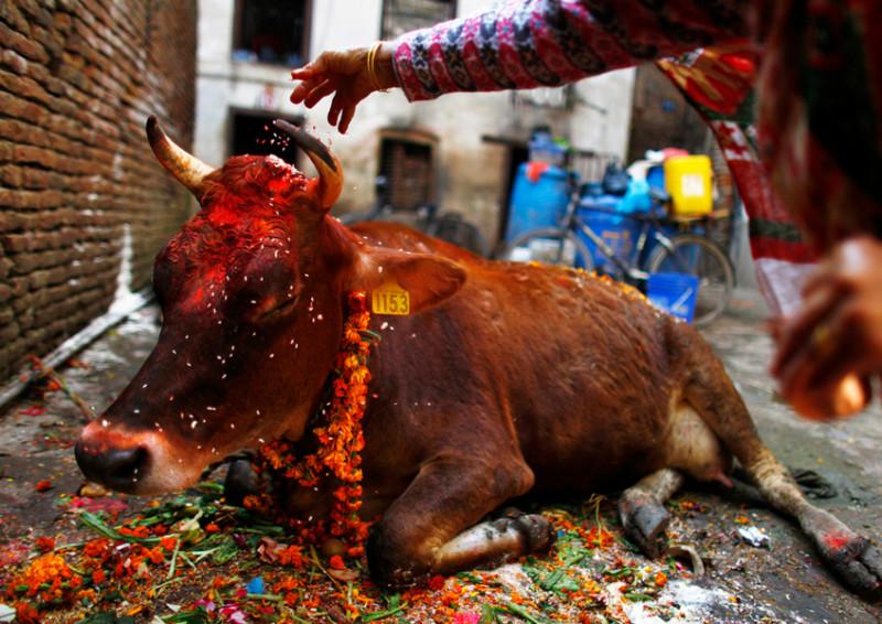 Священная коровка лежит на тротуаре