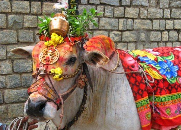 Корова в причудливом наряде прогуливается по улице