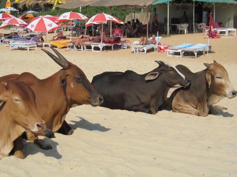 Коровы отдыхают на пляже