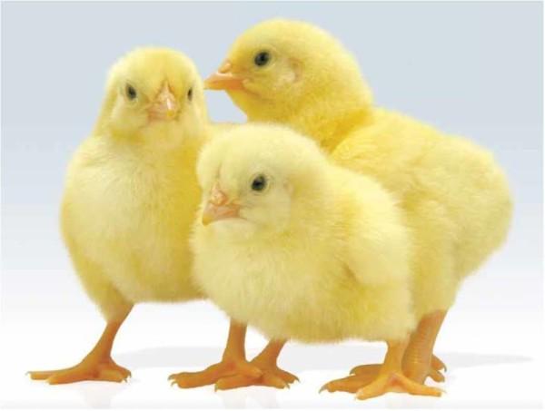 Три цыпленка бройлера
