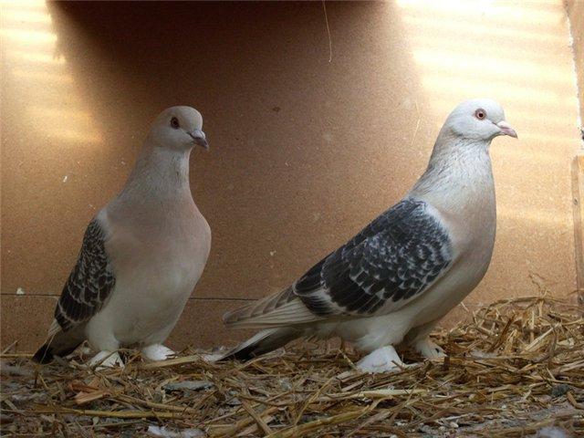 Турецкие голуби Такла в своем домике