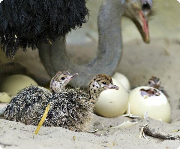 Самец страуса склонился над птенцами