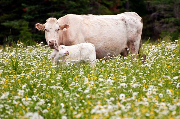 Белая корова и детеныш в поле