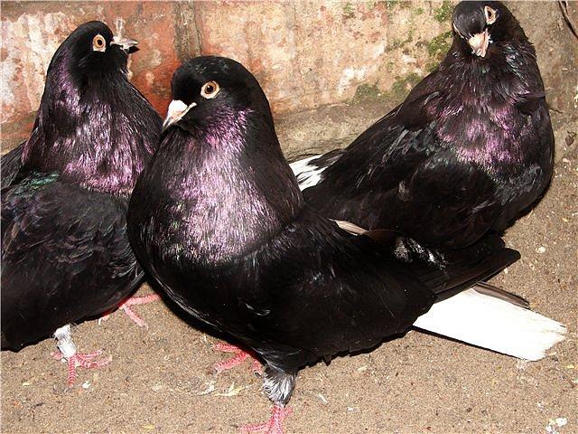 Кировоградские сиреневые торцовые голуби