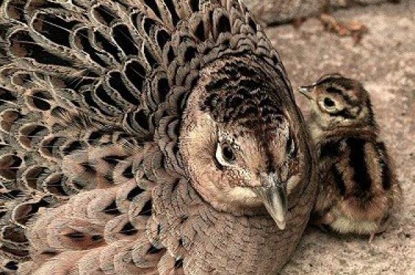 Самка Фазана с птенцом
