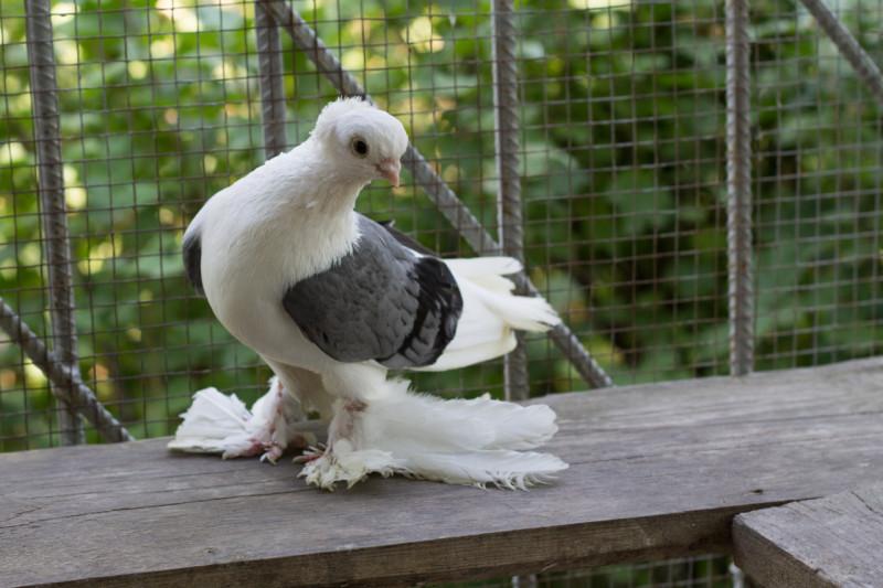 Трехцветный Бакинский бойный голубь в вольере