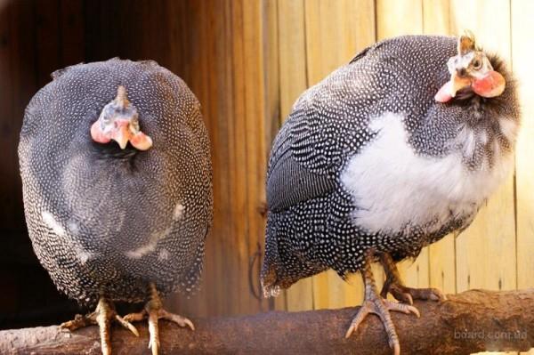 Прекрасная пара Загорских белогрудых цесарок