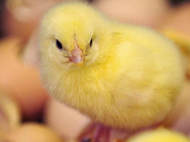 Маленький цыпленок
