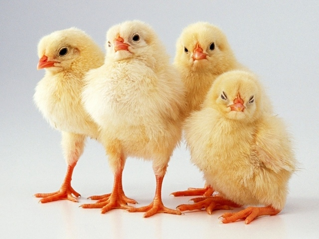 Четыре пушистых цыпленка