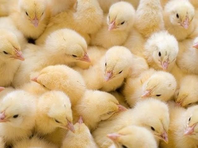 Скученность цыплят
