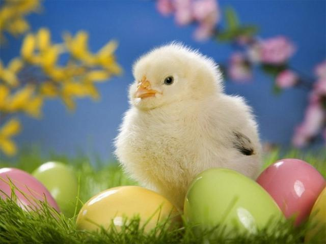 Цыпленок и цветные яйца