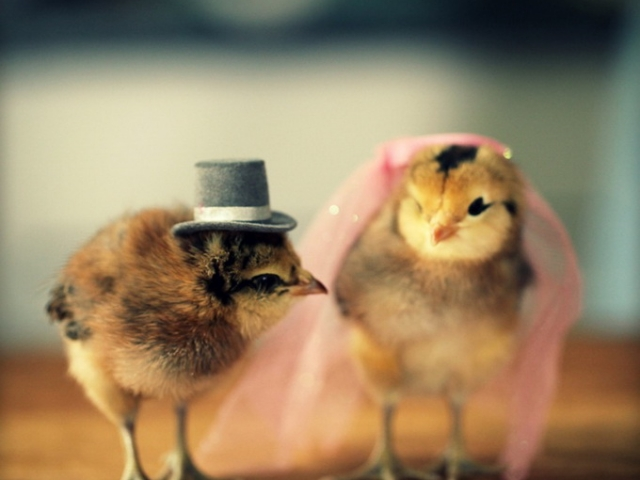 Цыпленок-жених и цыпленок-невеста