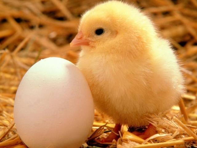Цыпленок рядом с яйцом