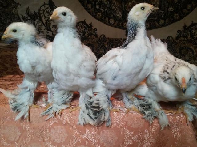 Белые двухнедельные цыплята Брама
