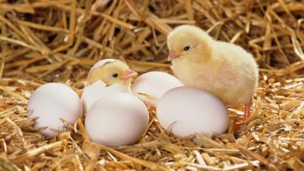 Цыплята вылупились