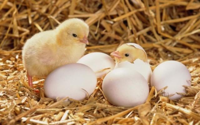 Цыплята и яйца на соломе