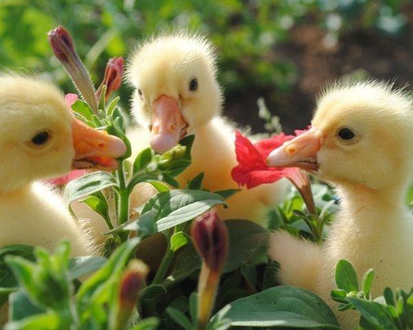 Утята обкусывают цветок