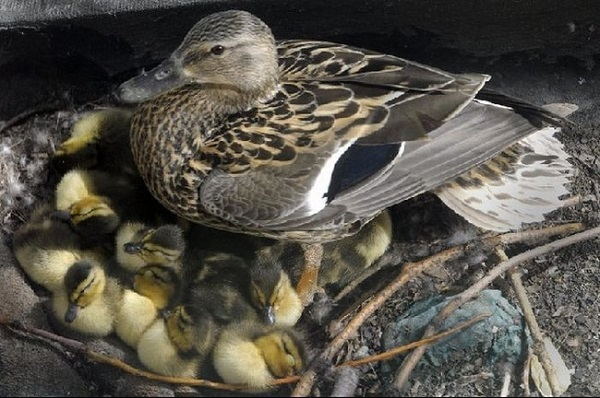 Мама-утка с утятами
