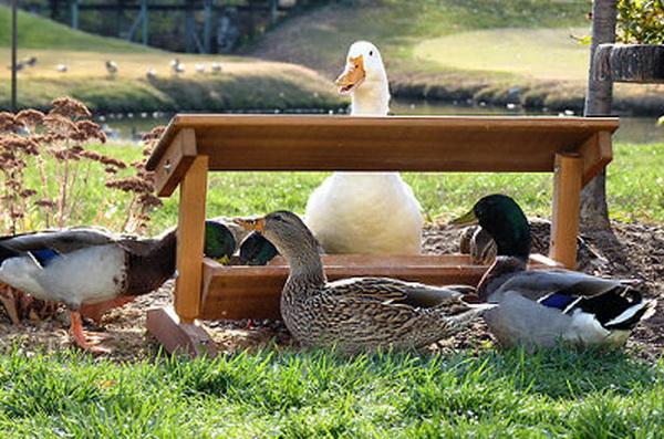 Домашние утки возле кормушки