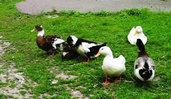 Домашние птицы на зеленой лужайке