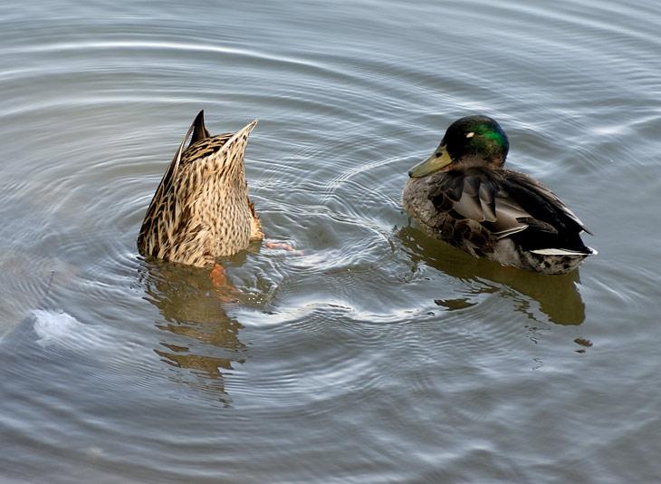 Утка ныряет за едой