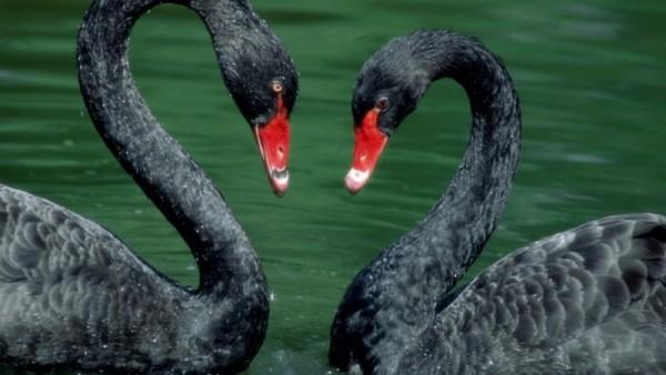 Пара черных лебедей
