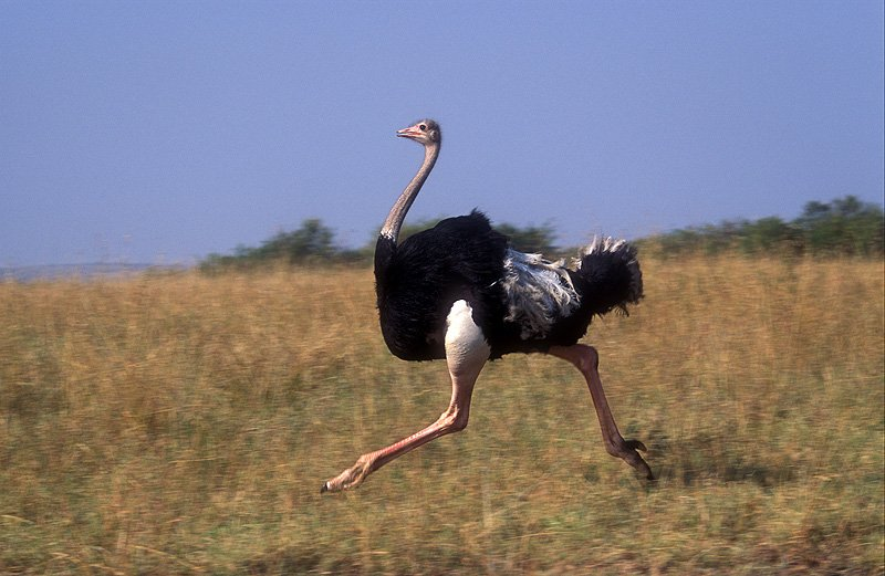 Птица бежит по саванне