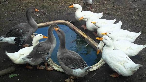 Гуси и утки возле ванночки с водой