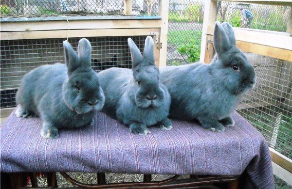 Три венских голубых кролика