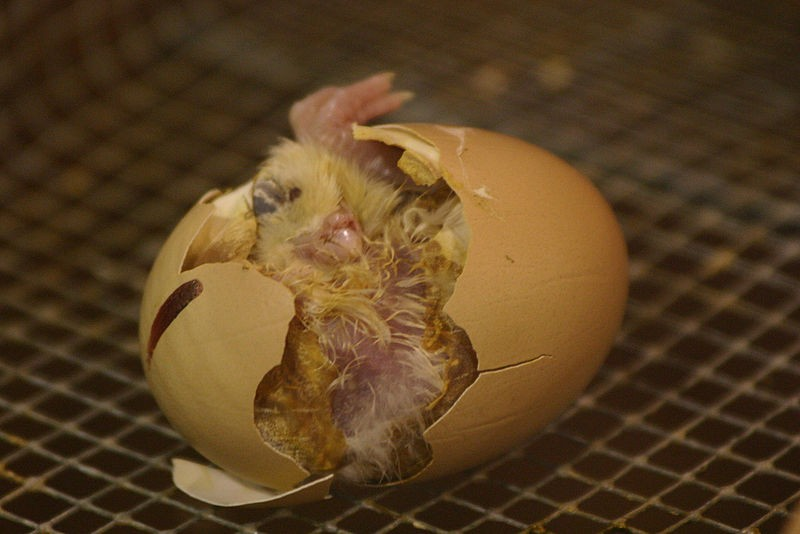 Цыпленок вылупляется в инкубаторе