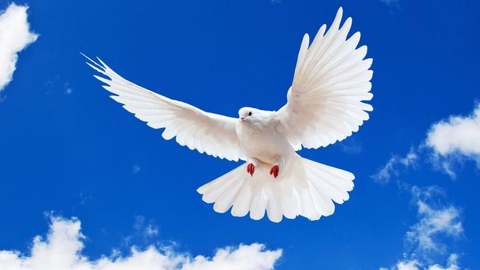 Белоснежный голубь в полете