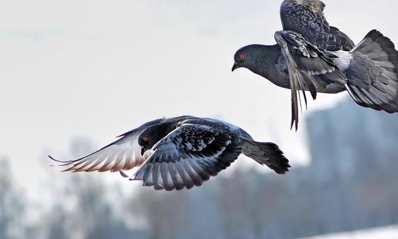 Сизые голуби в полете