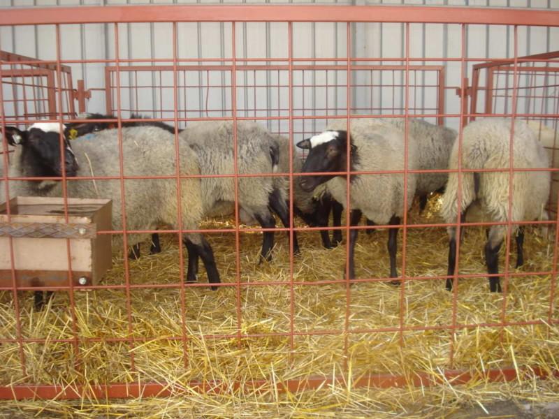 Взрослые овцы в специальном ограждении