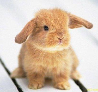 Очаровательный карлик кролик пигмей