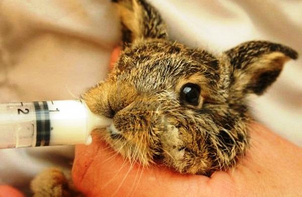 Искусственное вскармливание крольчонка