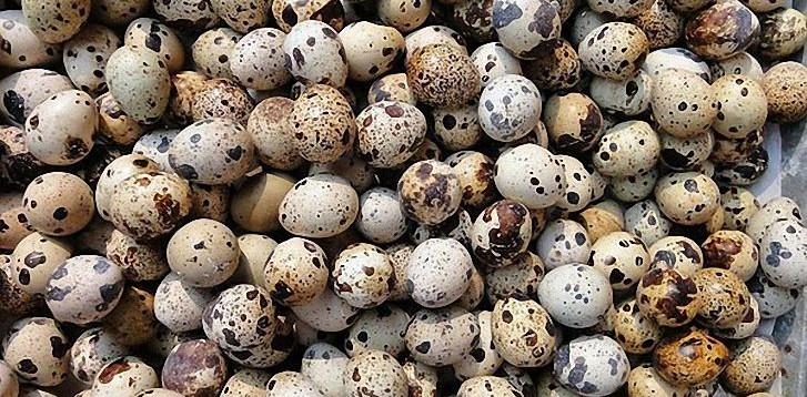 Очень много перепелиных яиц