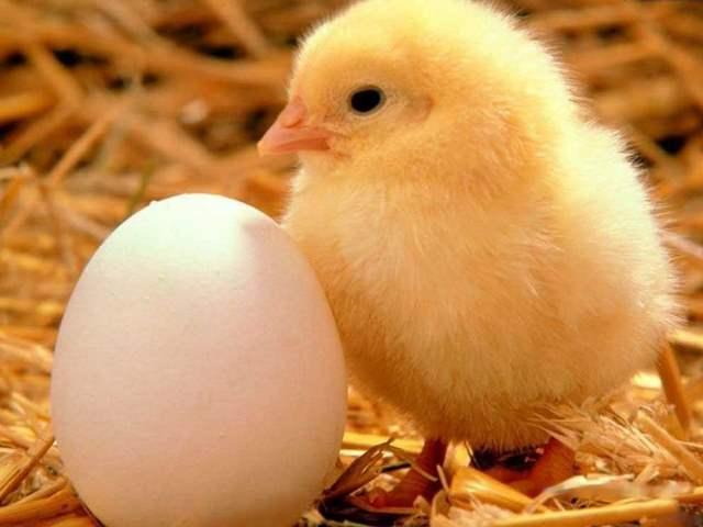 Цыпленок возле яйца