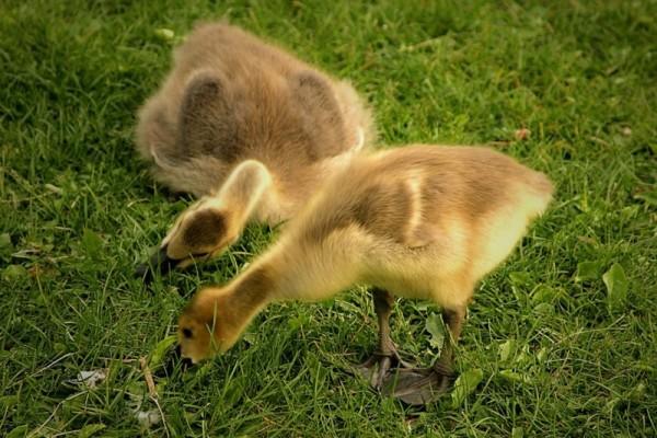 Молодые гуси на выгуле