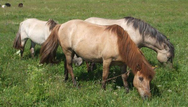 Якутские лошадки на пастбище