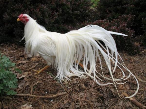 Мини-курица породы Феникс