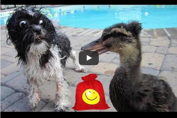 Утка и собака в бассейне