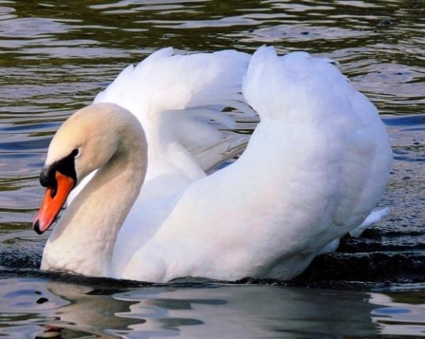 Красивый шипун с раскрытыми крыльями