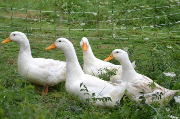 Белые утки гуляют в загоне