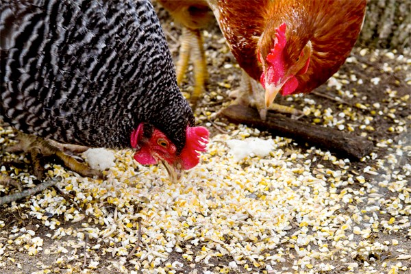 Куры клюют зерно крупным планом